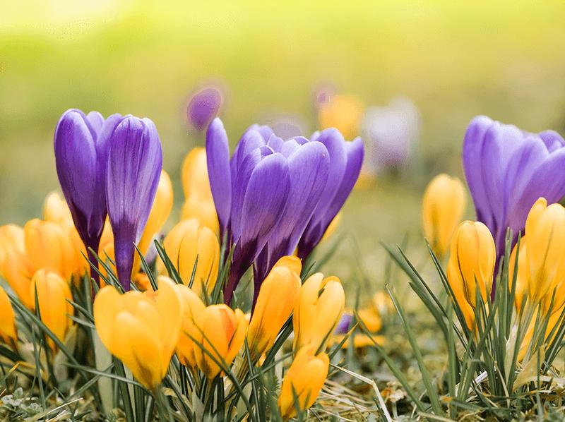 Frühlingsglanz der Krokusse